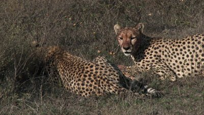 Cheetah's (Acinonyx jubatus) eating on prey,two together on the Serengeti Plains