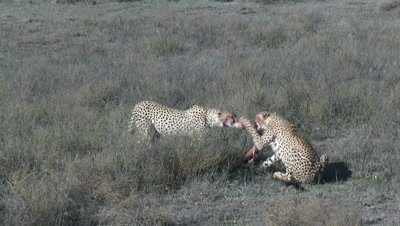 Cheetah's ( Acinonyx jubatus) eating and fighting on prey