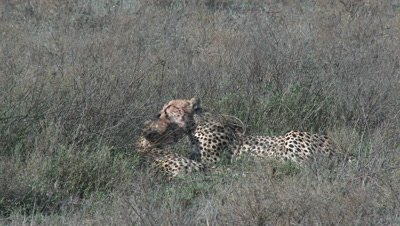 Cheetah's (Acinonyx jubatus) cleaning each other by licking after eating on prey