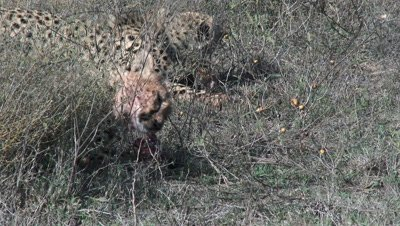 Cheetah's (Acinonyx jubatus) eating on prey,close-up.