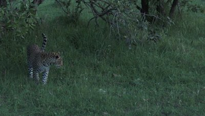 Leopard (Panthera pardus) looking at snake crawling in grass