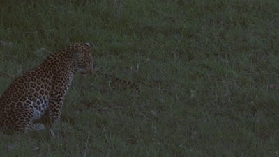 Leopard (Panthera pardus) looking at snake in grass