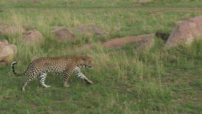 Leopard (Panthera pardus) walking between Koppies,looking around for prey.