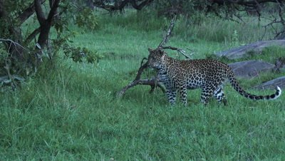 Leopard (Panthera pardus) stalking on something (Snake) creeping in the grass.