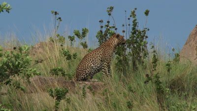 Leopard (Panthera pardus) walking between Koppies,and shrubs,looking around for prey.