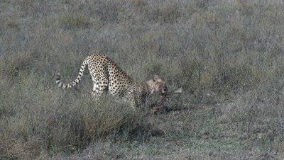 Cheetah (Acinonyx jubatus) eating on prey on the Serengeti Plains,Tanzania