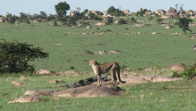 Cheetah (Acinonyx jubatus) walking on the Serengeti plains over rocks,looking for prey