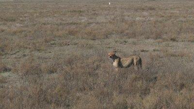 Cheetah (Acinonyx jubatus) in search of Prey on the Serengeti Plains,Tanzania.