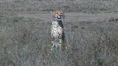 Cheetah (Acinonyx jubatus) overlooking the Serengeti Plains in search for Prey.