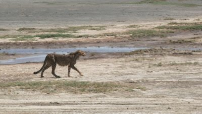 Cheetah (Acinonyx jubatus) crossing a dry riverbed,at the Ndutu region.