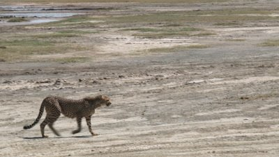 Cheetah (Acinonyx jubatus) Juvenile walking across a riverbed stopping for a moment to look behind