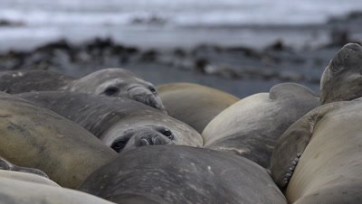 Group Elephant seals ( Mirounga leonina) stacked together while relaxing on the Sub-Antarctic island Macquarie.