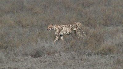 Cheetah (Acinonyx jubatus) walking over the Serengeti plains in search of prey.