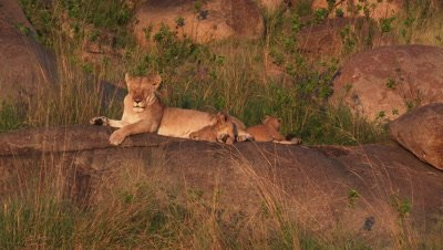 Lioness with cubs on Koppie,covered with trees and shrubs,with small cubs playing around.