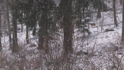 Gray wolf (Canis lupus) wandering in winter forest,while snowing heavily.