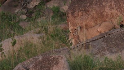 Lioness (Panthera leo) with cub in mouth to move it,on Koppie