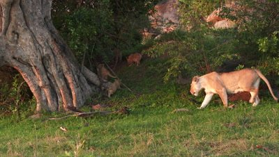 Lioness (panthera leo) following her cubs wandering off,under a tree.