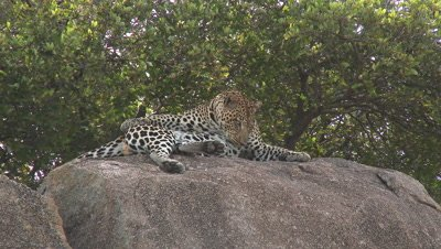 Leopard (Panthera pardus) relaxing on Koppie,cleaning himself