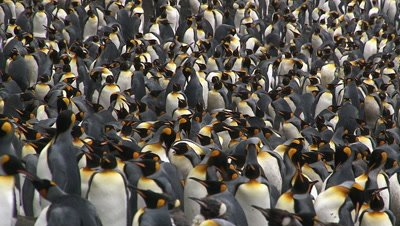 King Penguin (Aptenodytes patagonicus) colony packed together on coastline of Macquarie Island, Ross sea, Antarctica
