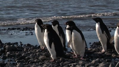 Adelie Penguins (Pygoscelis adeliae) on shoreline of Cape Adare, an Island in the Ross sea, Antarctica, hesitate to go into the water