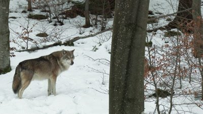Gray wolf (Canis lupus) lone,in winter forest
