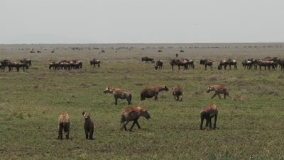 Spotted hyena (Crocuta crocuta) clan looking for herd of Wildebeest on the Serengeti plains
