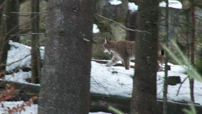Eurasian lynx (lynx lynx) walking in winter forest.