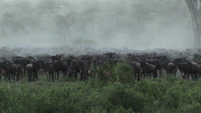 Wildebeests ( Connochaetes taurinus ) gathered during their annual Migration,causing a cloud of dust.