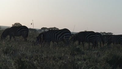 Zebra herd grazing in high grasses,covered in dewdrops,in early morning light.