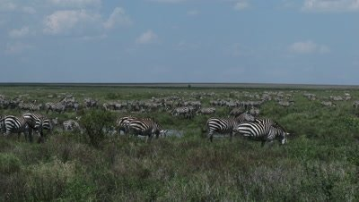 Zebra herd grazing in high grasses,among a small pond,at Serengeti National Park.