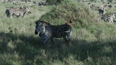 herd of Zebra's grazing in high grasses,two in forground playfighting