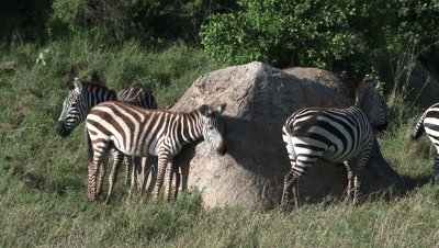 Zebra's in line waiting to scratch against a big rock,using as a Cleaning station.