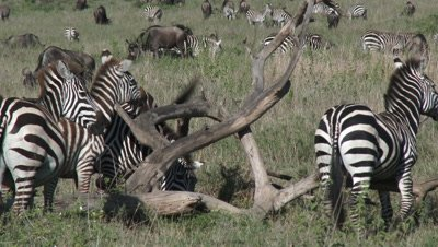 Zebra's gathered to scratch against a fallen dead tree,using it as a Cleaning station.