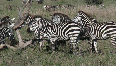 Zebra's around a fallen dead tree to scratch,using it as a Cleaning station.