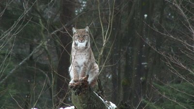 Eurasian lynx (lynx lynx) in winter forest on a tree stump,hard wind blowing