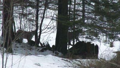 Eurasian lynx (lynx lynx) in winter forest on a rock,hard wind blowing