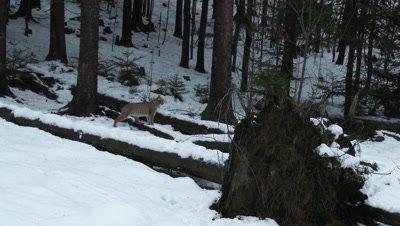Eurasian lynx (lynx lynx) in winter forest walking over fallen tree ,hard wind blowing