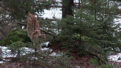 Eurasian lynx (lynx lynx) in winter forest walking among rocks,hard wind blowing