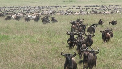 Wildebeests ( Connochaetes taurinus ) gathered during their annual Migration,herd running towards camera.