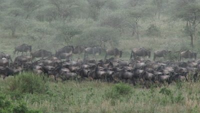 Wildebeests ( Connochaetes taurinus ) walking in circles,during their annual Migration,causing a cloud of dust.
