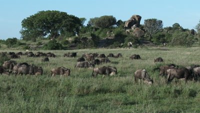 Wildebeests ( Connochaetes taurinus ) gathered during their annual Migration,grazing in front of Koppie.