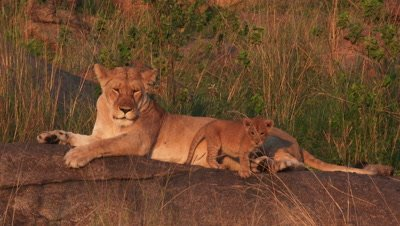 African Lion Stock Footage