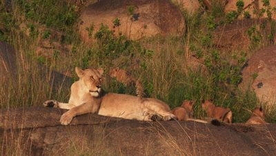 Lioness with cubs on Koppie,with small cubs walking around.