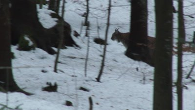 Eurasian lynx (lynx lynx) in winter forest,looking at camera