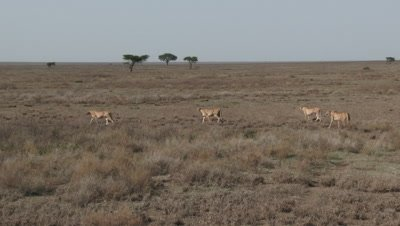 Cheetah (Acinonyx jubatus) mother with her three juveniles walking over the Serengeti plains in search of prey.