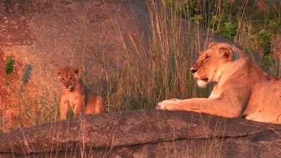 Lioness ( Panthera leo) with cubs in early morning light,on Koppie in Serengeti National Park,Tanzania.