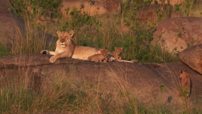 Lioness (Panthera leo) with cubs walking around her on Koppie