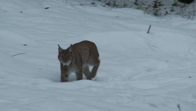 Eurasian lynx (lynx lynx) in winter forest