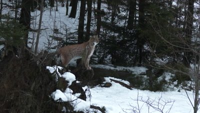 Eurasian lynx (lynx lynx) in winter forest on a rock,overlooking the area