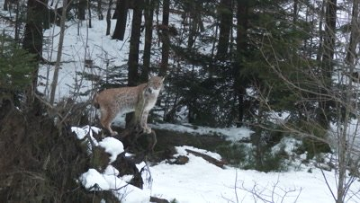 Eurasian lynx (lynx lynx) in winter forest on a rock,overlooking the area,hard wind blowing